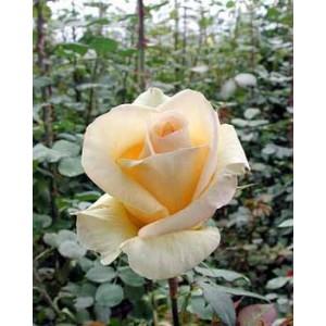 Роза JudeРоза Jude представлен на сайте доставки цветов grand-flora.ru в ознакомительных целях. Если вы хотите заказать букет цветов из роз Jude просим уточнить наличие данного цветка  у консультанта по тел.:<br> +7 (988) 744-46-44 или ...<br>