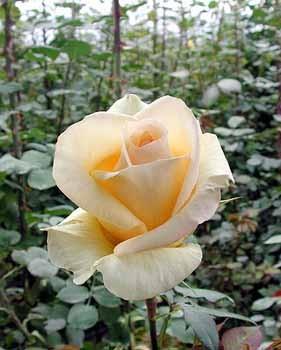 GF-rose62