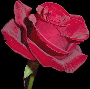 GF-rose63