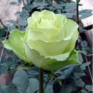 Роза Лимбо(Limbo)Роза Лимбо представлен на сайте доставки цветов grand-flora.ru в ознакомительных целях. Если вы хотите заказать букет цветов из роз Лимбо просим уточнить наличие данного цветка у консультанта по тел.:<br> +7 (988) 744-46-44 или...<br>