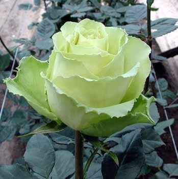 GF-rose64