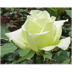Роза Лимон(Limon)Роза Лимон представлен на сайте доставки цветов grand-flora.ru в ознакомительных целях. Если вы хотите заказать букет цветов из роз Лимон просим уточнить наличие данного цветка  у консультанта по тел.:<br> +7 (988) 744-46-44 ил...<br>