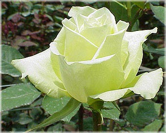 GF-rose65