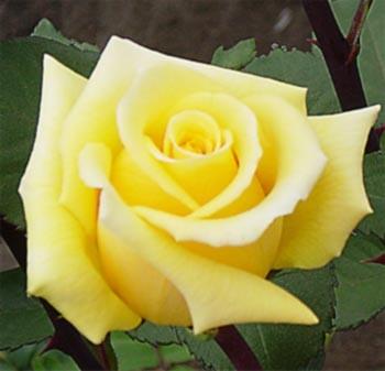 GF-rose66