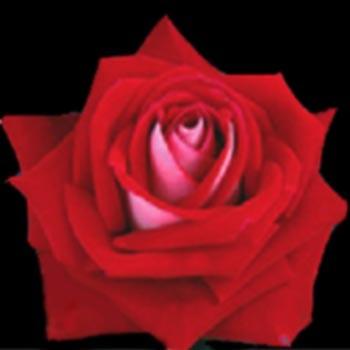 GF-rose67