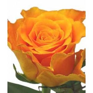 Роза Marie ClaireРоза Marie Claire представлен на сайте доставки цветов grand-flora.ru в ознакомительных целях. Если вы хотите заказать букет цветов из роз Marie Claire просим уточнить наличие данного цветка  у консультанта по тел.:<br> +7 (988...<br>