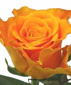 GF-rose68