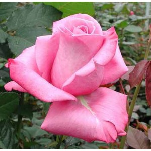 Роза MaritimРоза Maritim представлен на сайте доставки цветов grand-flora.ru в ознакомительных целях. Если вы хотите заказать букет цветов из роз Maritim просим уточнить наличие данного цветка  у консультанта по тел.:<br> +7 (988) 744-46-4...<br>