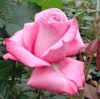 GF-rose69