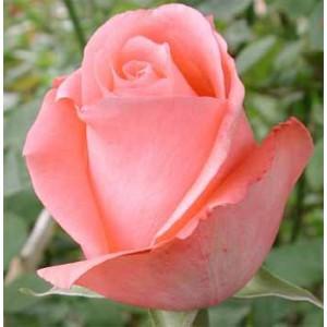 Роза MarlisseРоза Marlisse представлен на сайте доставки цветов grand-flora.ru в ознакомительных целях. Если вы хотите заказать букет цветов из роз Marlisse просим уточнить наличие данного цветка  у консультанта по тел.:<br> +7 (988) 744-46...<br>