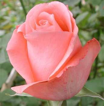 GF-rose70