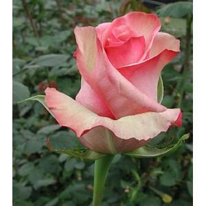 Роза MelaniРоза Melani представлен на сайте доставки цветов grand-flora.ru в ознакомительных целях. Если вы хотите заказать букет цветов из роз Melani просим уточнить наличие данного цветка  у консультанта по тел.:<br> +7 (988) 744-46-44 ...<br>
