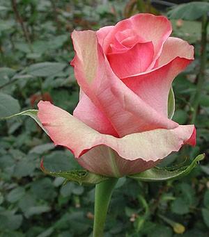 где купить Цветы Гранд Флора GF-rose71 по лучшей цене