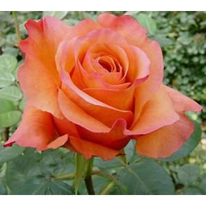 Роза Мильва(Milva)Роза Мильва представлен на сайте доставки цветов grand-flora.ru в ознакомительных целях. Если вы хотите заказать букет цветов из роз Мильва просим уточнить наличие данного цветка у консультанта по тел.:<br> +7 (988) 744-46-44 и...<br>