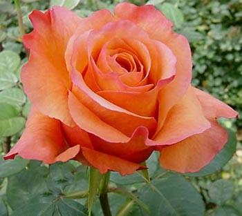 GF-rose72