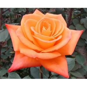 Роза MiracleРоза Miracle представлен на сайте доставки цветов grand-flora.ru в ознакомительных целях. Если вы хотите заказать букет цветов из роз Miracle просим уточнить наличие данного цветка  у консультанта по тел.:<br> +7 (988) 744-46-4...<br>
