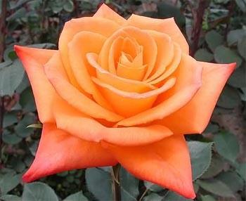 GF-rose73