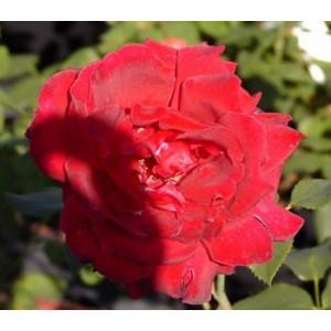 Роза Medel BardРоза Medel Bard представлен на сайте доставки цветов grand-flora.ru в ознакомительных целях. Если вы хотите заказать букет цветов из роз Medel Bard просим уточнить наличие данного цветка  у консультанта по тел.:<br> +7 (988) 74...<br>