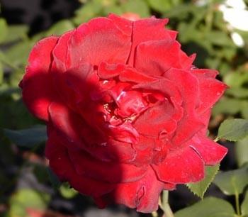 GF-rose74