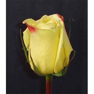 Роза MohanaРоза Mohana представлен на сайте доставки цветов grand-flora.ru в ознакомительных целях. Если вы хотите заказать букет цветов из роз Mohana просим уточнить наличие данного цветка  у консультанта по тел.:<br> +7 (988) 744-46-44 ...<br>