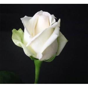 Роза Mount EverestРоза Mount Everest представлен на сайте доставки цветов grand-flora.ru в ознакомительных целях. Если вы хотите заказать букет цветов из роз Mount Everest просим уточнить наличие данного цветка  у консультанта по тел.:<br> +7 (9...<br>