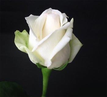GF-rose76