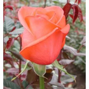 Роза Movie StarРоза Movie Star представлен на сайте доставки цветов grand-flora.ru в ознакомительных целях. Если вы хотите заказать букет цветов из роз Movie Star просим уточнить наличие данного цветка  у консультанта по тел.:<br> +7 (988) 74...<br>