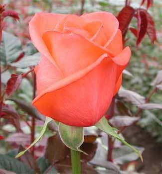 Цветы Гранд Флора GF-rose77
