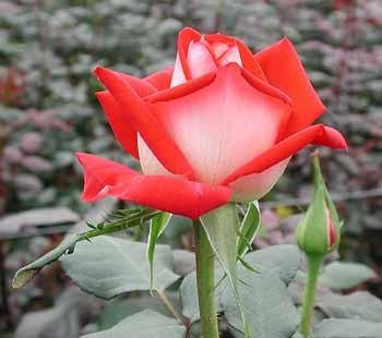 GF-rose78
