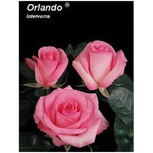 Роза Орландо(Orlando)Роза Орландо представлен на сайте доставки цветов grand-flora.ru в ознакомительных целях. Если вы хотите заказать букет цветов из роз Орландо просим уточнить наличие данного цветка  у консультанта по тел.:<br> +7 (988) 744-46-4...<br>