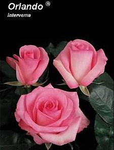 GF-rose80