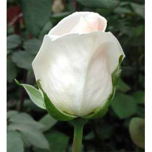 Роза OsianaРоза Osiana представлен на сайте доставки цветов grand-flora.ru в ознакомительных целях. Если вы хотите заказать букет цветов из роз Osiana просим уточнить наличие данного цветка  у консультанта по тел.:<br> +7 (988) 744-46-44 ...<br>