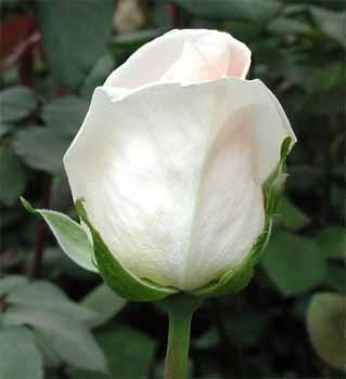 GF-rose81