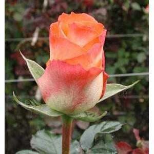 Роза PailineРоза Pailine представлен на сайте доставки цветов grand-flora.ru в ознакомительных целях. Если вы хотите заказать букет цветов из роз Pailine просим уточнить наличие данного цветка  у консультанта по тел.:<br> +7 (988) 744-46-4...<br>