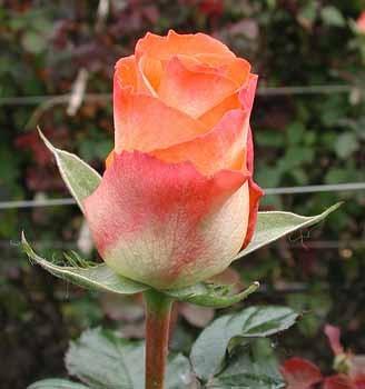 GF-rose82