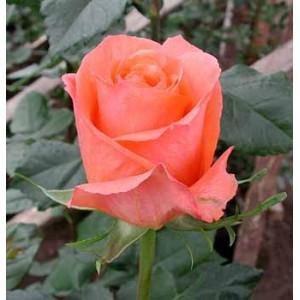 Роза Папая(Papaya)Роза Папая представлен на сайте доставки цветов grand-flora.ru в ознакомительных целях. Если вы хотите заказать букет цветов из роз Папая просим уточнить наличие данного цветка у консультанта по тел.:<br> +7 (988) 744-46-44 или...<br>
