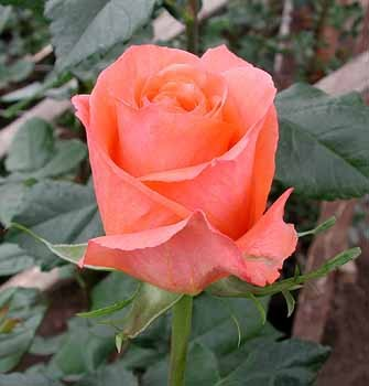 GF-rose83
