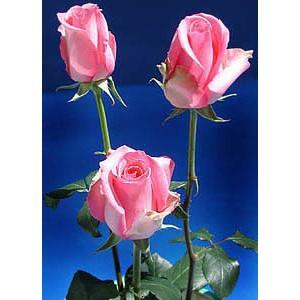 Роза PavarottiРоза Pavarotti представлен на сайте доставки цветов grand-flora.ru в ознакомительных целях. Если вы хотите заказать букет цветов из роз Pavarotti просим уточнить наличие данного цветка у консультанта по тел.:<br> +7 (988) 744-4...<br>