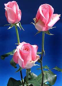 GF-rose84