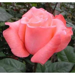 Роза PeckouboРоза Peckoubo представлен на сайте доставки цветов grand-flora.ru в ознакомительных целях. Если вы хотите заказать букет цветов из роз Peckoubo просим уточнить наличие данного цветка  у консультанта по тел.:<br> +7 (988) 744-46...<br>