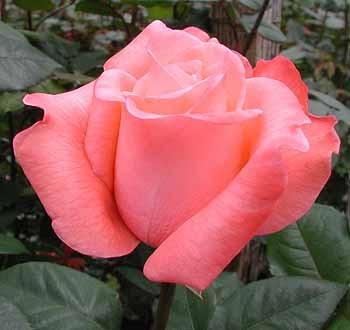GF-rose85