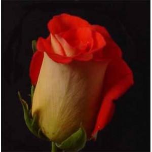 Роза PijamaРоза Pijama представлен на сайте доставки цветов grand-flora.ru в ознакомительных целях. Если вы хотите заказать букет цветов из роз Pijama просим уточнить наличие данного цветка у консультанта по тел.:<br> +7 (988) 744-46-44 и...<br>