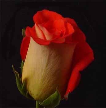 GF-rose86
