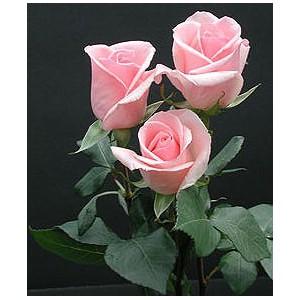 Роза Пинко(Pinko)Роза Пинко представлен на сайте доставки цветов grand-flora.ru в ознакомительных целях. Если вы хотите заказать букет цветов из роз Пинко просим уточнить наличие данного цветка  у консультанта по тел.:<br> +7 (988) 744-46-44 ил...<br>
