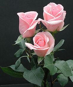 GF-rose87