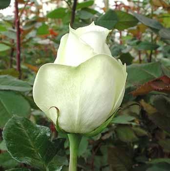 GF-rose88