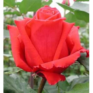 Роза PreferenceРоза Preference представлен на сайте доставки цветов grand-flora.ru в ознакомительных целях. Если вы хотите заказать букет цветов из роз Preference просим уточнить наличие данного цветка  у консультанта по тел.:<br> +7 (988) 74...<br>