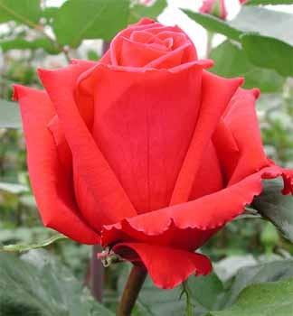 GF-rose89