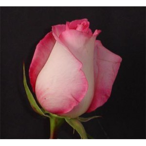 Роза Price lessРоза Price less представлен на сайте доставки цветов grand-flora.ru в ознакомительных целях. Если вы хотите заказать букет цветов из роз Price less просим уточнить наличие данного цветка  у консультанта по тел.:<br> +7 (988) 74...<br>