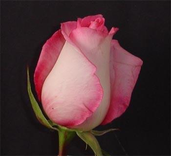 GF-rose90
